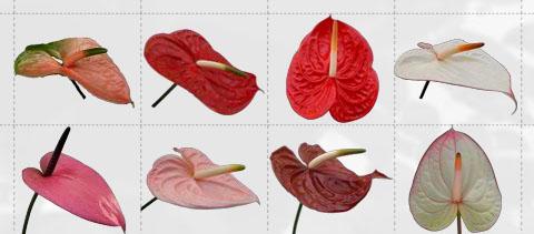 CHIAPAS FLOWER